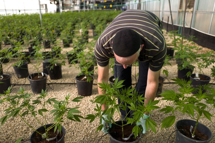 medical marijuana, cannabis nursery in israel
