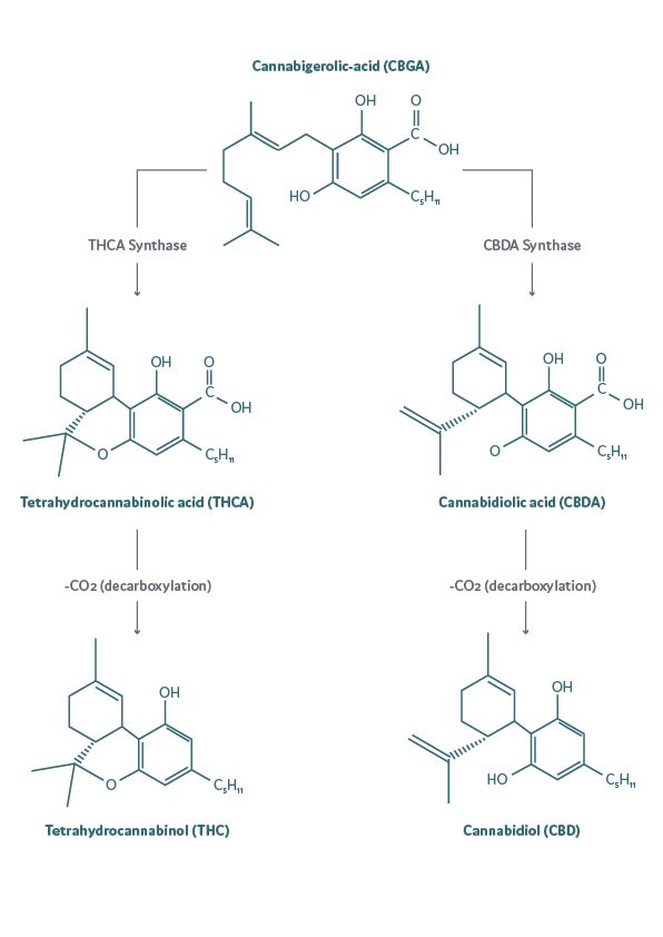 The biosynthesis of THC and CBD from CBGA via their acidic forms THCA and CBDA.