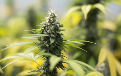 5 Cannabis Strains You Should Be Excited About in 2018