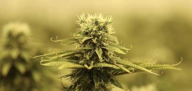 eat cannabis